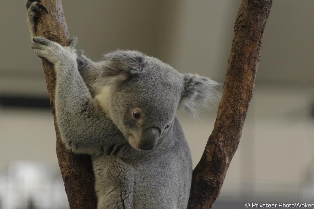 多摩動物園 コアラ