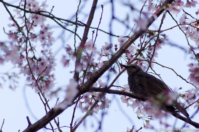 桜+むくどり