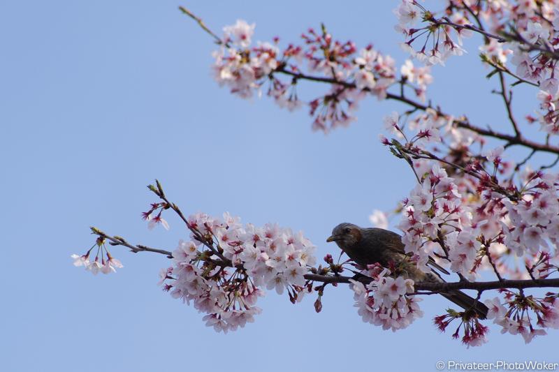 桜むくどり