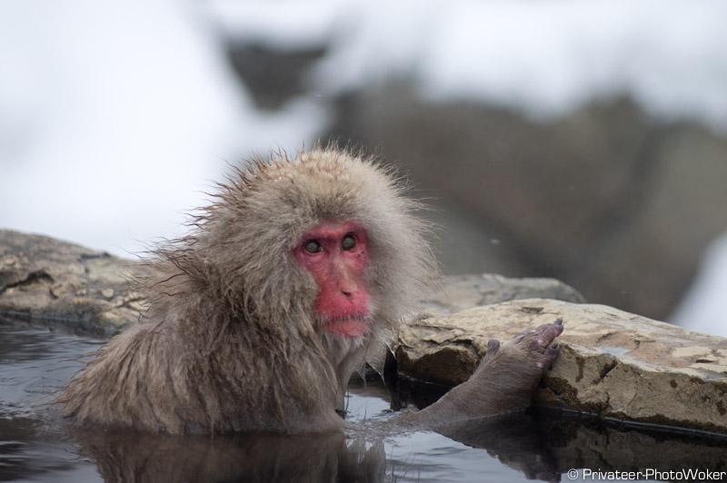 地獄谷温泉猿
