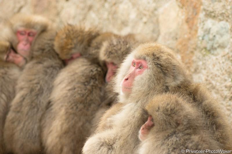地獄谷集団猿