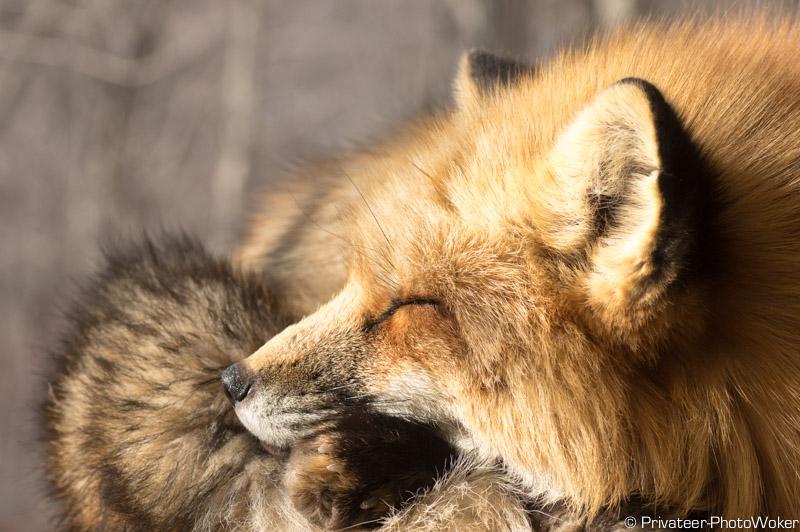 寝ているキツネ