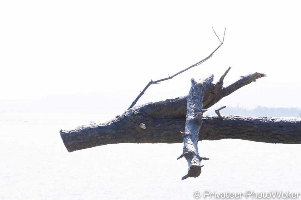 岩井岬 龍の松
