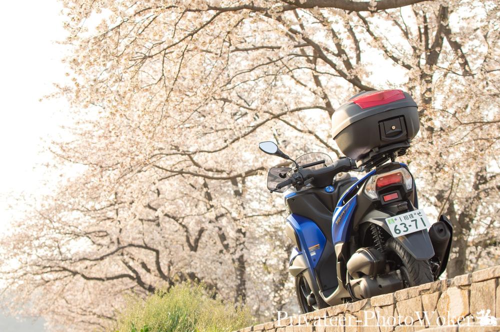 桜トリシティ155