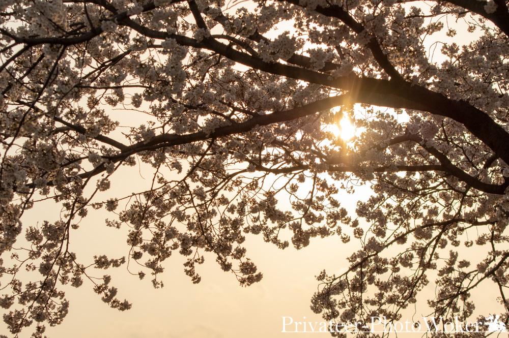 2019相模川桜
