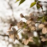 早朝の境川沿いに咲く桜並木 〜暁の桜〜
