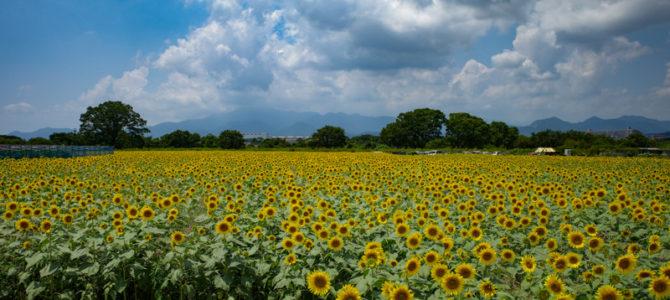 神奈川県のひまわり畑!  満開の座間ひまわりまつり2019に行ってきた!